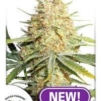 Lemon Zkittle Feminised Cannabis Seeds   Dutch Passion