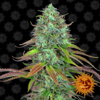 LSD Auto Feminised Cannabis Seeds | Barney's Farm