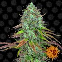 LSD Auto Feminised Cannabis Seeds | Barney's Farm