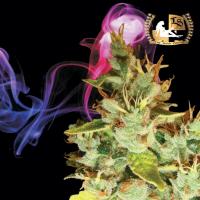 Aphasia Haze Regular Cannabis Seeds   Lady Sativa Genetics