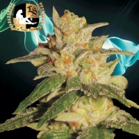 London City Diesel Regular Cannabis Seeds | Lady Sativa Genetics