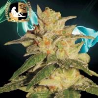 London City Diesel Regular Cannabis Seeds   Lady Sativa Genetics