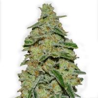 Lemon Cake Feminised Cannabis Seeds (Formerly Lemon Cheesecake)   Heavyweight Seeds