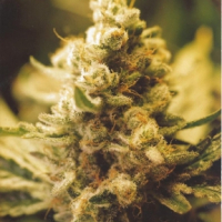 Lemon Kush Feminised Cannabis Seeds | Female Seeds