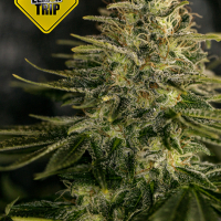 Lemon Trip Feminised Cannabis Seeds | Positronics