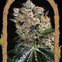 Malasana Cookies Feminised Cannabis Seeds | Exotic Seeds