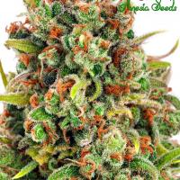 Mandarine 47 Feminised Cannabis Seeds - Anesia Seeds