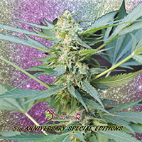 Mango Bubble Cloud Auto Feminised Cannabis Seeds   Dr Krippling