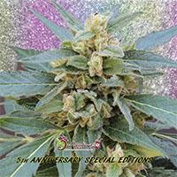 Mango Bubble Cloud Feminised Cannabis Seeds   Dr Krippling