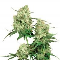 Maple Leaf Indica Regular Cannabis Seeds | Sensi Seeds