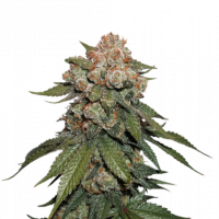 Maple Sherbert x Pre '89 Skunk Feminised Cannabis Seeds | Seed Stockers
