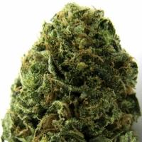 Massive Midget Auto Feminised Cannabis Seeds   Heavyweight Seeds