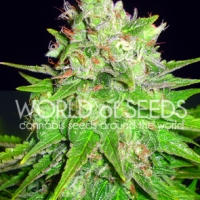 Mazar x Great White Shark Feminised Cannabis Seeds | World of Seeds