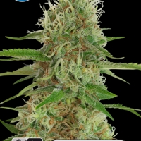 Medical White Widow Feminised Cannabis Seeds