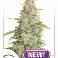Meringue Feminised Cannabis Seeds | Dutch Passion