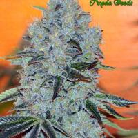 Mob Boss Feminised Cannabis Seeds - Anesia Seeds