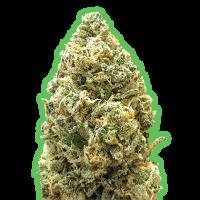 Monster Bruce Banner Auto Feminised Cannabis Seeds   Monster Genetics