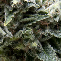 New York City CBD Auto Feminised Cannabis Seeds | Pyramid Seeds