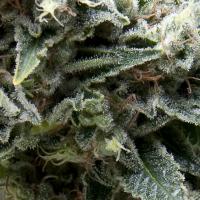 New York City CBD Auto Feminised Cannabis Seeds | Pyramid Seeds