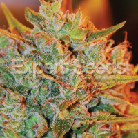 NL X Big Bud Auto Feminised Cannabis Seeds | Expert Seeds