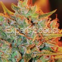 NL X Big Bud Auto Feminised Cannabis Seeds | Expert Seeds
