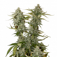 O.G. Candy Dawg Kush Auto Feminised Cannabis Seeds | Seed Stockers