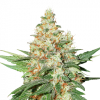 O.G. Kush Auto Feminised Cannabis Seeds | Seed Stockers
