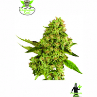 OG Cheese Feminised Cannabis Seeds | Dispensario Seeds