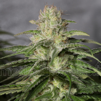 OG Kush CBD Feminised Cannabis Seeds   Medical Seeds
