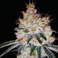 OGesus Auto Feminised Cannabis Seeds   Expert Seeds