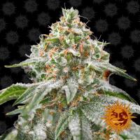 Pink Kush Feminised Cannabis Seeds   Barney's Farm