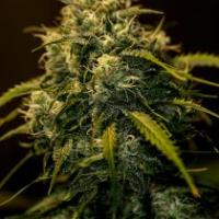 CBD Jack Diesel Feminised Cannabis Seeds | Positronics