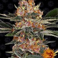 Purple Punch Feminised Cannabis Seeds   Barney's Farm