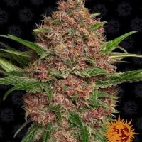 Purple Punch Auto Feminised Cannabis Seeds | Barney's Farm