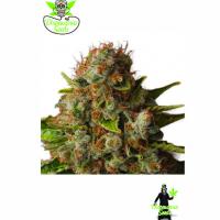 Queen Widow Feminised Cannabis Seeds | Dispensario Seeds