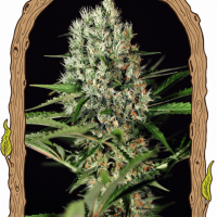 Quick Mass Feminised Cannabis Seeds | Exotic Seeds