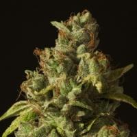 Rollex OG Kush Regular Cannabis Seeds | Devil's Harvest Seeds