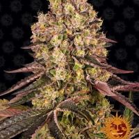Runtz Muffin Feminised Cannabis Seeds | Barney's Farm