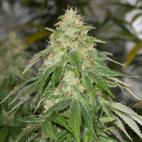 Some Sweet Feminised Cannabis Seeds | Medical Seeds
