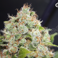 BCN Sour Diesel Feminised Cannabis Seeds | Medical Seeds