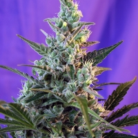 Auto Sweet Skunk Feminised Cannabis Seeds | Sweet Seeds