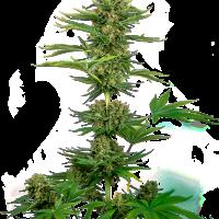 Satin Black Domina CBD Feminised Cannabis Seeds - Sensi Seeds