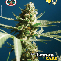 Sch' Lemon Cake Feminised Cannabis Seeds | Big Buddha Seeds