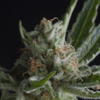 Shark CBD Feminised Cannabis Seeds | Pyramid Seeds