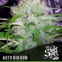 Auto Big Gun Feminised Cannabis Seed | Shortstuff Seeds