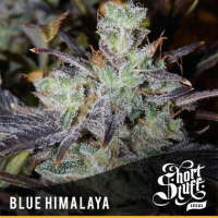 Blue Himalaya Feminised Cannabis Seeds | Shortstuff Seeds