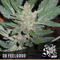 Dr Feelgood Feminised Cannabis Seeds | Shortstuff Seeds