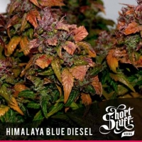 Himalayan Blue Diesel Feminised Cannabis Seeds | Shortstuff Seeds