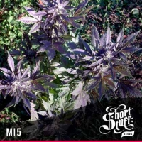 Mi5 Regular Cannabis Seeds | Shortstuff Seeds
