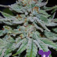 Slurricane Feminised Cannabis Seeds - Anesia Seeds